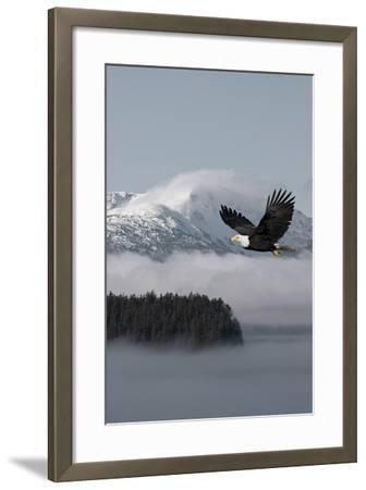 Bald Eagle in Flight over the Inside Passage with Tongass National Forest in the Background, Alaska-Design Pics Inc-Framed Photographic Print