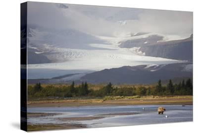 Young Grizzly Fishing at Hallo Bay, Katmai National Park, Alasaka-Design Pics Inc-Stretched Canvas Print
