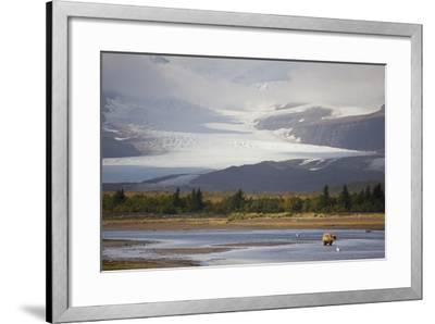 Young Grizzly Fishing at Hallo Bay, Katmai National Park, Alasaka-Design Pics Inc-Framed Photographic Print