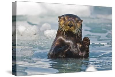 A Sea Otter Swimming Amongst Sea Ice in Harriman Fjord, Prince William Sound, Southcentral Alaska-Design Pics Inc-Stretched Canvas Print