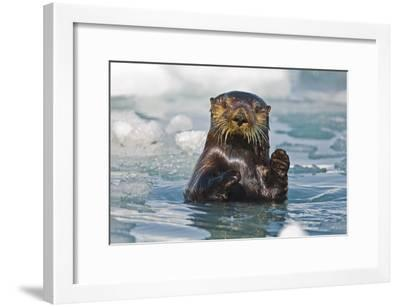 A Sea Otter Swimming Amongst Sea Ice in Harriman Fjord, Prince William Sound, Southcentral Alaska-Design Pics Inc-Framed Photographic Print