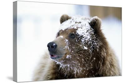 Grizzly Bear Standing with Face Covered-Design Pics Inc-Stretched Canvas Print