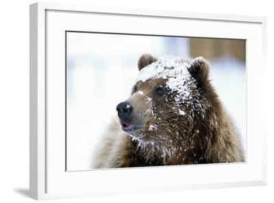 Grizzly Bear Standing with Face Covered-Design Pics Inc-Framed Photographic Print