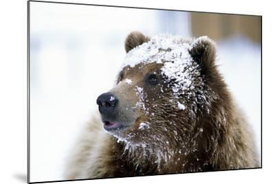 Grizzly Bear Standing with Face Covered-Design Pics Inc-Mounted Photographic Print
