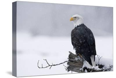 Bald Eagle Perched on Log During Snow Storm Chilkat River Near Haines Alaska Southeast Winter-Design Pics Inc-Stretched Canvas Print