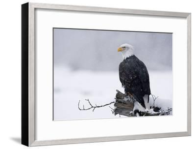 Bald Eagle Perched on Log During Snow Storm Chilkat River Near Haines Alaska Southeast Winter-Design Pics Inc-Framed Photographic Print