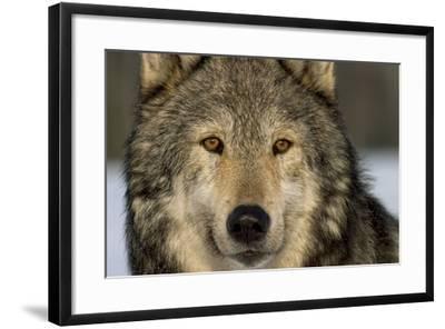 Portrait of Grey Wolf Captive Alaska Se Winter-Design Pics Inc-Framed Photographic Print
