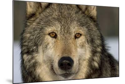Portrait of Grey Wolf Captive Alaska Se Winter-Design Pics Inc-Mounted Photographic Print