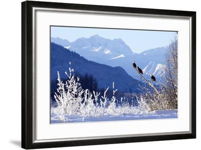 Bald Eagles Perched-Design Pics Inc-Framed Photographic Print