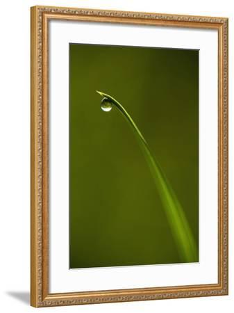 Droplet of Water on End of Blade of Grass Early in the Morning, Lewes, East Sussex, Uk-Design Pics Inc-Framed Photographic Print