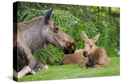 Cow Moose and Calves Laying on Lawn in Anchorage Residents Yard, Sc Alaska Spring-Design Pics Inc-Stretched Canvas Print