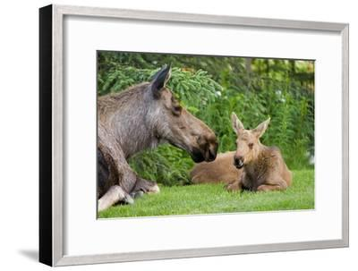 Cow Moose and Calves Laying on Lawn in Anchorage Residents Yard, Sc Alaska Spring-Design Pics Inc-Framed Photographic Print