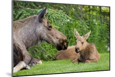 Cow Moose and Calves Laying on Lawn in Anchorage Residents Yard, Sc Alaska Spring-Design Pics Inc-Mounted Photographic Print