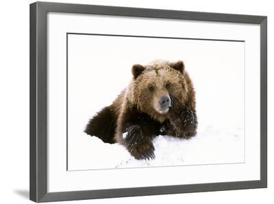 Grizzly Resting Head on Paw While Laying-Design Pics Inc-Framed Photographic Print