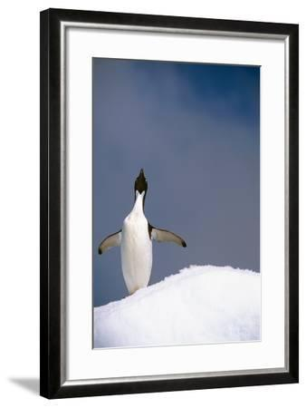 Portrait of Single Adelie Penguin Atop Iceberg South Atlantic Ocean Antarctica Summer-Design Pics Inc-Framed Photographic Print