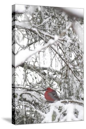 Pine Grosbeak on Snowy Branch Winter Sc Alaska-Design Pics Inc-Stretched Canvas Print