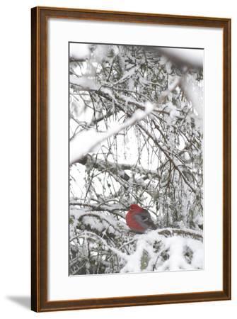 Pine Grosbeak on Snowy Branch Winter Sc Alaska-Design Pics Inc-Framed Photographic Print