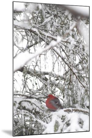 Pine Grosbeak on Snowy Branch Winter Sc Alaska-Design Pics Inc-Mounted Photographic Print