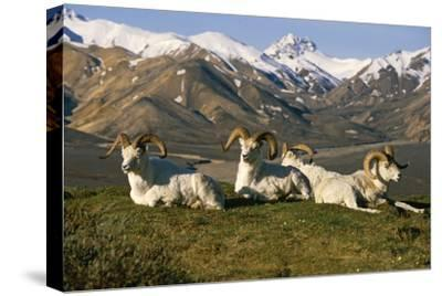 Group of Dall Sheep Rams on Ridge Polychrome Pass in Ak Summer Denali Np-Design Pics Inc-Stretched Canvas Print