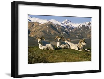 Group of Dall Sheep Rams on Ridge Polychrome Pass in Ak Summer Denali Np-Design Pics Inc-Framed Photographic Print