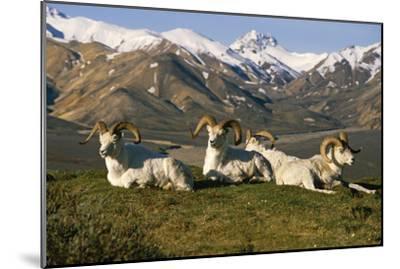 Group of Dall Sheep Rams on Ridge Polychrome Pass in Ak Summer Denali Np-Design Pics Inc-Mounted Photographic Print