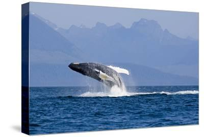 Humpback Whale in Inside Passage Leaping Out of the Water Southeast Alaska Summer-Design Pics Inc-Stretched Canvas Print