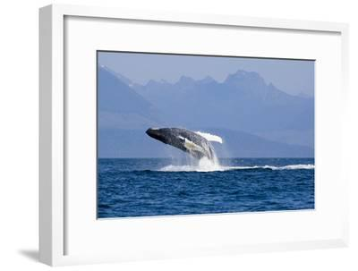 Humpback Whale in Inside Passage Leaping Out of the Water Southeast Alaska Summer-Design Pics Inc-Framed Photographic Print