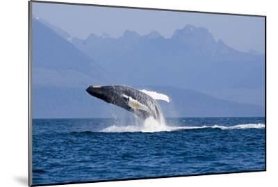Humpback Whale in Inside Passage Leaping Out of the Water Southeast Alaska Summer-Design Pics Inc-Mounted Photographic Print
