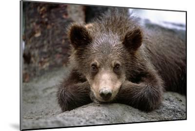 Grizzly Bear Cub Laying on Ground Alaska Wildlife Conservation Center Sc Alaska Summer Captive-Design Pics Inc-Mounted Photographic Print