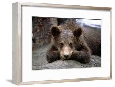 Grizzly Bear Cub Laying on Ground Alaska Wildlife Conservation Center Sc Alaska Summer Captive-Design Pics Inc-Framed Photographic Print