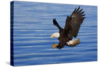 Bald Eagle Preparing to Grab Fish Out of Water Inside Passage Alaska Southeast Spring-Design Pics Inc-Stretched Canvas Print