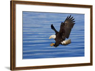 Bald Eagle Preparing to Grab Fish Out of Water Inside Passage Alaska Southeast Spring-Design Pics Inc-Framed Photographic Print