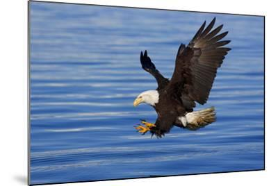 Bald Eagle Preparing to Grab Fish Out of Water Inside Passage Alaska Southeast Spring-Design Pics Inc-Mounted Photographic Print