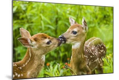 Twin White-Tailed Deer Fawns Nuzzling Together in Meadow Minnesota Spring Captive-Design Pics Inc-Mounted Photographic Print