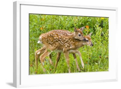 Twin White-Tailed Deer Fawns Nuzzling Together in Meadow Minnesota Spring Captive-Design Pics Inc-Framed Photographic Print