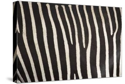 Samburu National Reserve, Kenya, East Africa; Close-Up of Grevy's Zebra Hide-Design Pics Inc-Stretched Canvas Print