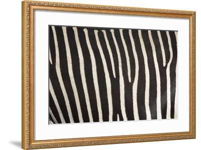 Samburu National Reserve, Kenya, East Africa; Close-Up of Grevy's Zebra Hide-Design Pics Inc-Framed Photographic Print