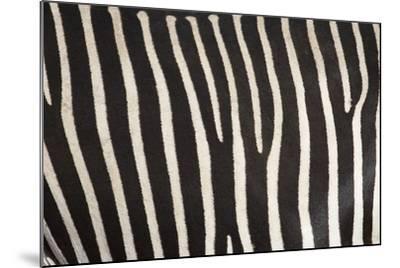 Samburu National Reserve, Kenya, East Africa; Close-Up of Grevy's Zebra Hide-Design Pics Inc-Mounted Photographic Print