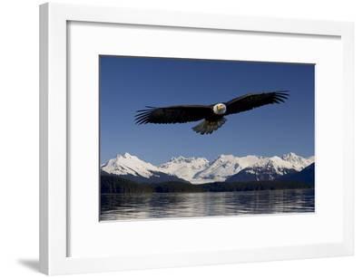 Bald Eagle in Flight Inside Passage Tongass National Forest Se Alaska Spring-Design Pics Inc-Framed Photographic Print
