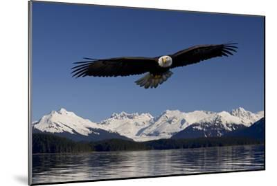 Bald Eagle in Flight Inside Passage Tongass National Forest Se Alaska Spring-Design Pics Inc-Mounted Photographic Print