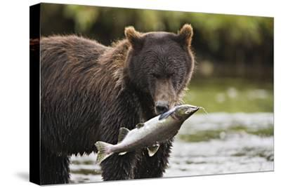 Brown Bear Feeds on Spawning Pink Salmon-Design Pics Inc-Stretched Canvas Print