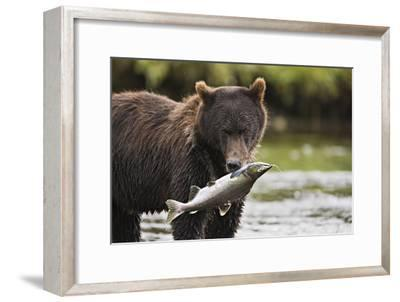 Brown Bear Feeds on Spawning Pink Salmon-Design Pics Inc-Framed Photographic Print