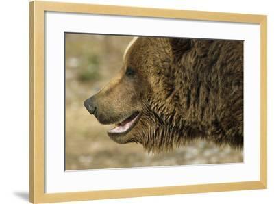 Profile of Brown Bear Denali Np in Alaska Spring-Design Pics Inc-Framed Photographic Print