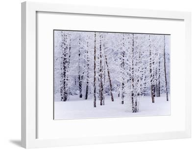 Frost Covered Cottonwood Trees Near Portage Ak Sc Winter Digital Filter-Design Pics Inc-Framed Photographic Print
