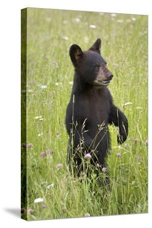 Black Bear Cub in Meadow of Wildflowers Minnesota Spring Captive-Design Pics Inc-Stretched Canvas Print