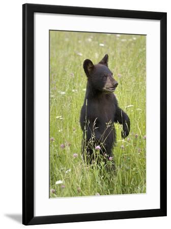 Black Bear Cub in Meadow of Wildflowers Minnesota Spring Captive-Design Pics Inc-Framed Photographic Print