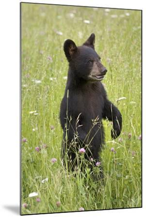 Black Bear Cub in Meadow of Wildflowers Minnesota Spring Captive-Design Pics Inc-Mounted Photographic Print