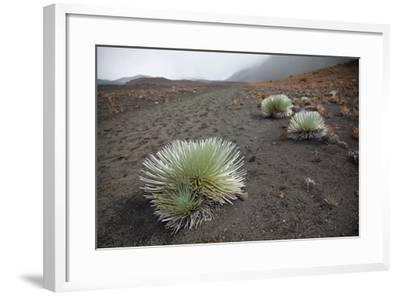 Hawaii, Maui, Haleakala, a Silversword Plant Growing Along the Trail of the Crater-Design Pics Inc-Framed Photographic Print