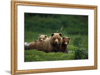 Grizzly Bear Mother and Cubs Lay in Field Southwest Ak - Nsummer-Design Pics Inc-Framed Photographic Print