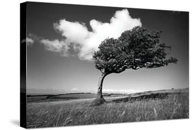 Wind-Swept Solitary Tree on Open Grassy Moorland-Design Pics Inc-Stretched Canvas Print